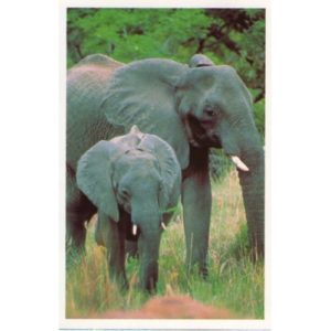 cartolina-elefante