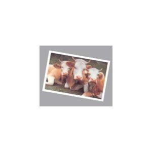cartolina-mucche