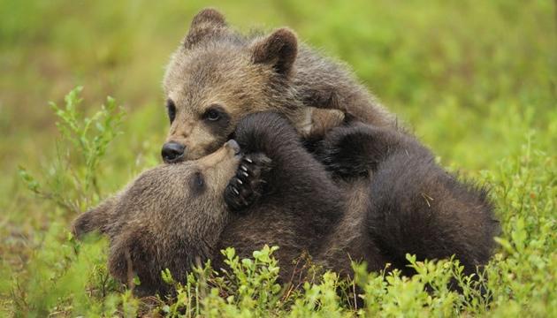 Eurasian brown bears, Suomussalmi, Finland