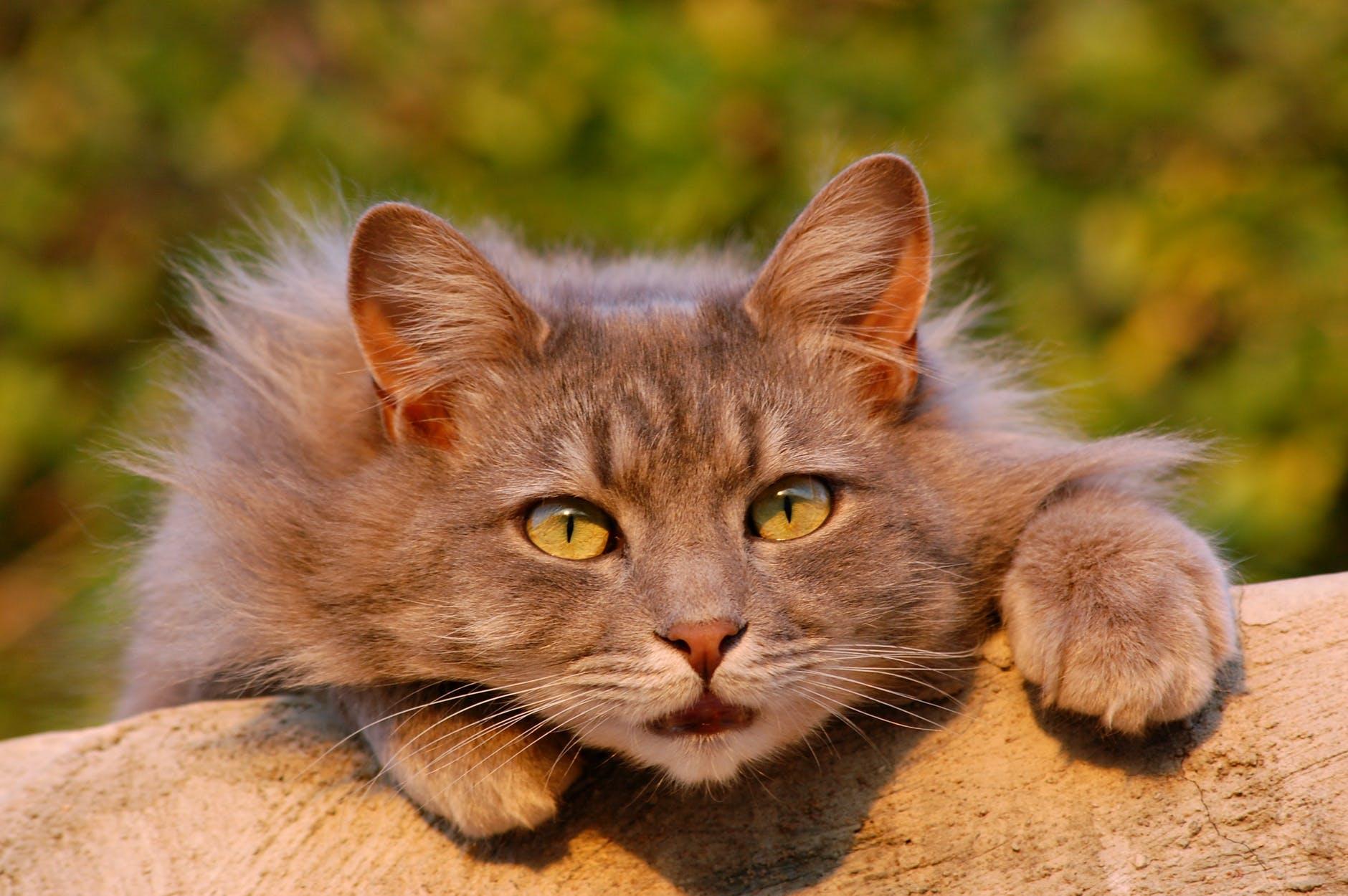 cat-feline-