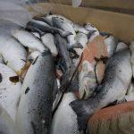 Indagine-allevamenti-salmoni-scozia-_animalisti-italiani