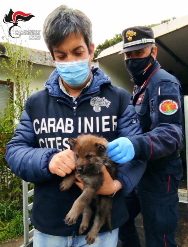 Fonte https://www.ilmessaggero.it/roma/news/cane_lupo_selvatico_sequestrati_animali_allevamento_roma-5905512.html
